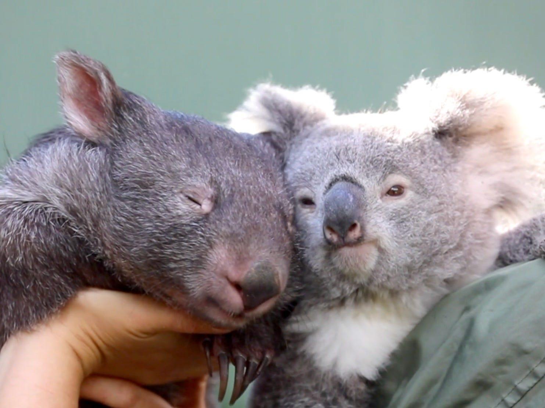 É ou não a coisa mais fofa que você vai ver hoje? (Fonte: Reptile Park Australia)