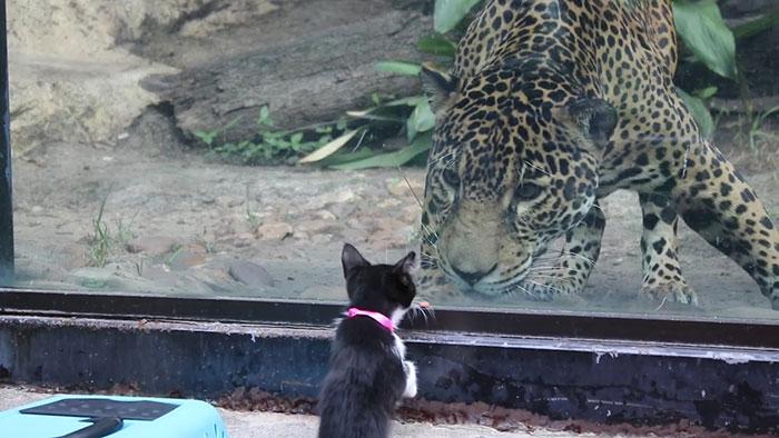 """Gatinha conhece seu """"primo"""" da selva (Fonte: San Antonio Zoo)"""