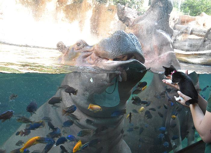 Os gatinhos gostaram muito dos hipopótamos! (Fonte: San Antonio Zoo)