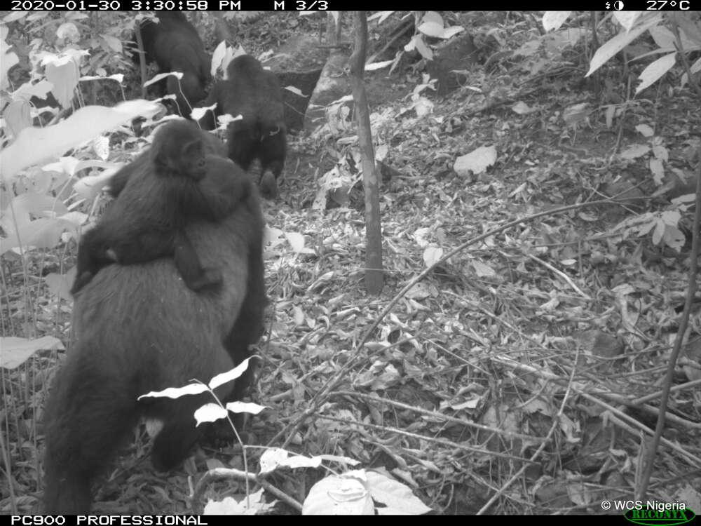 Um pequeno gorila-do-rio-cross agarrado nas costas de um primata adulto da espécie. (Fonte: WCS Nigeria/Reprodução)