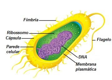 Estrutura celular de uma bactéria. (Fonte: Alunos Online)