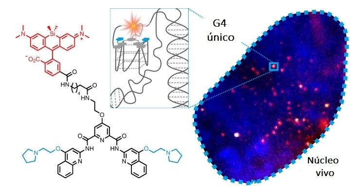 G4s são estruturas que se formam brevemente dentro das células.