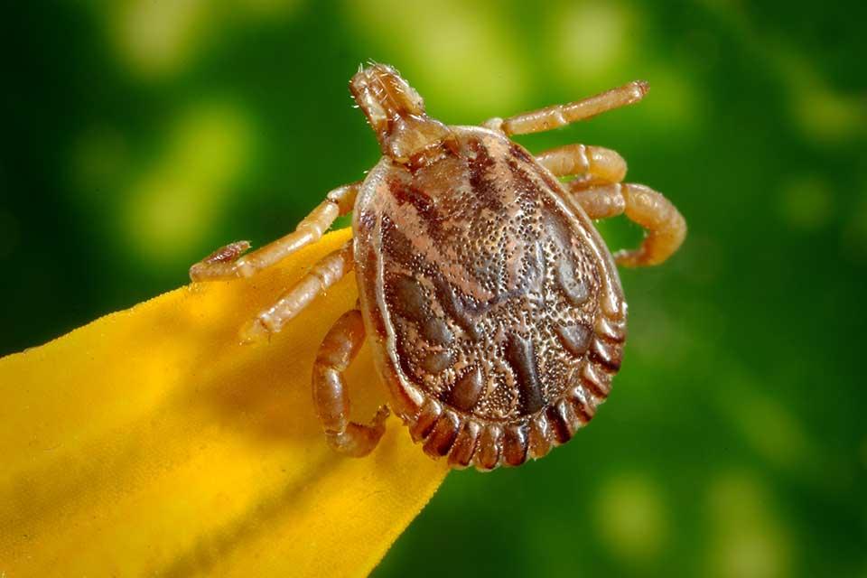 A doença é transmitida por carrapatos contaminados com a bactéria. (Fonte: Pexels)