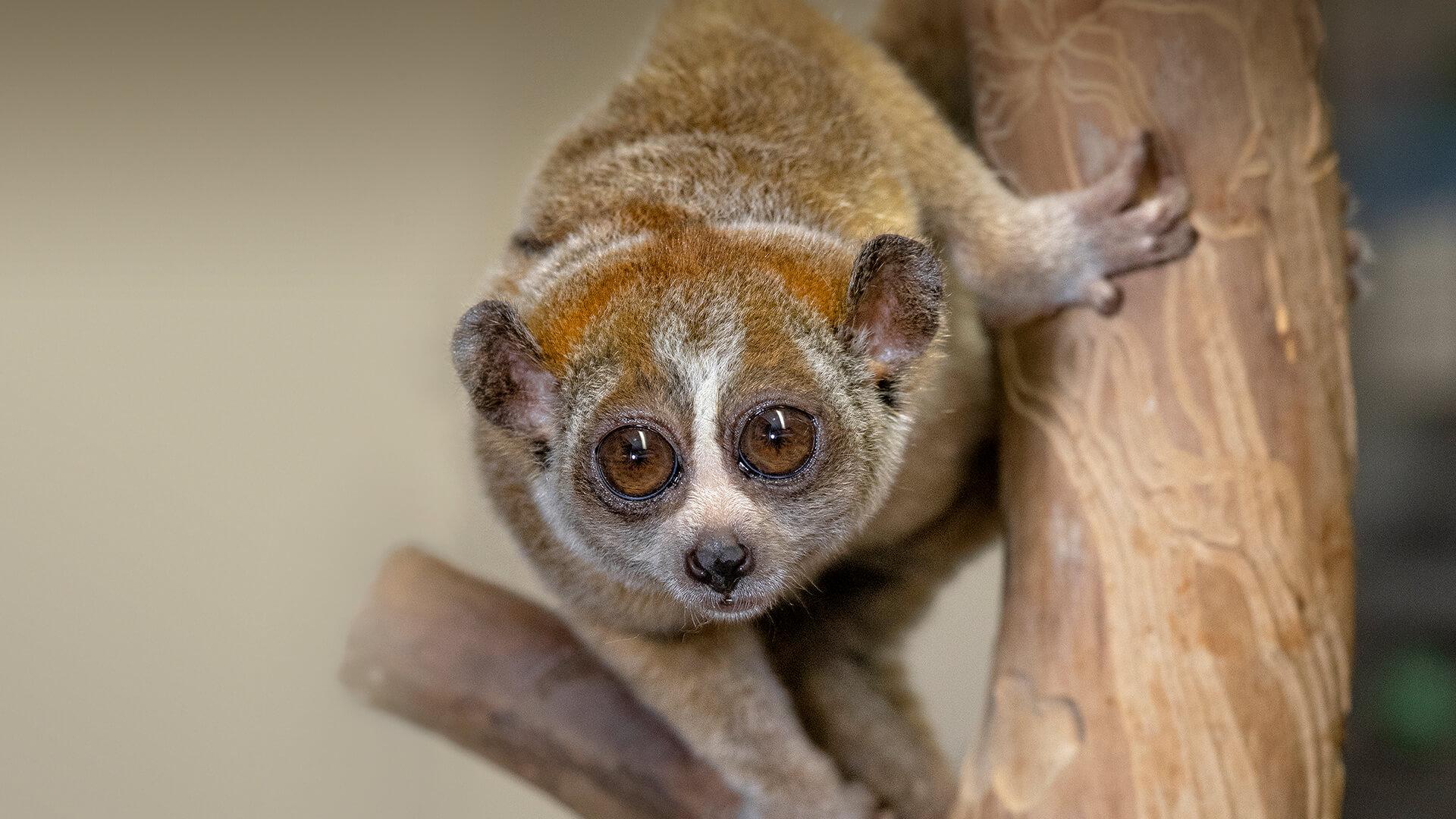 Fonte: San Diego Zoo/Reprodução