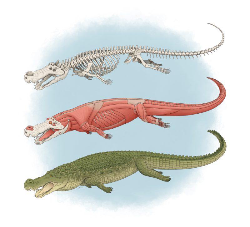 O gigante pré-histórico ameaçava outros dinossauros grandes. (Fonte: Tyler Stone)