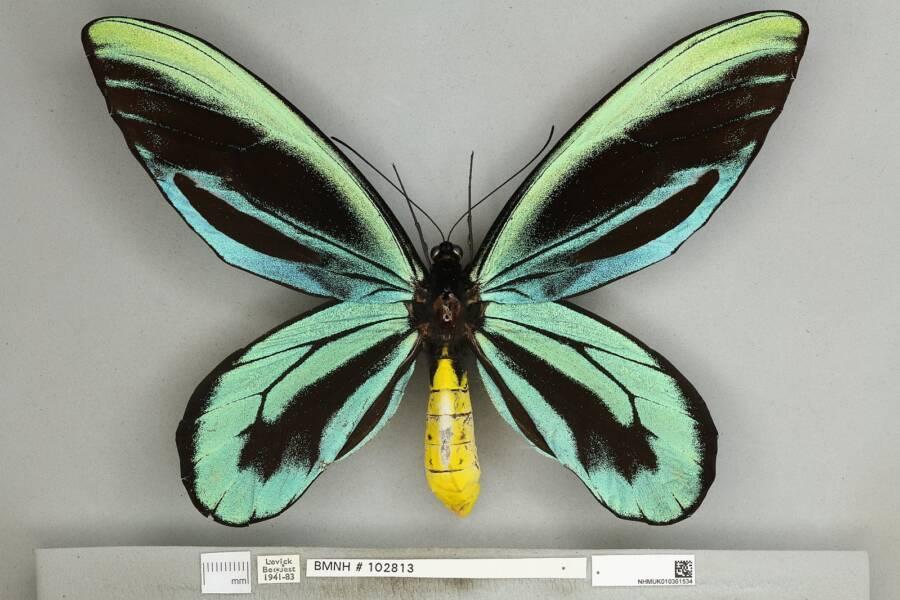 O macho da espécie. (Fonte: Wikimedia Commons)