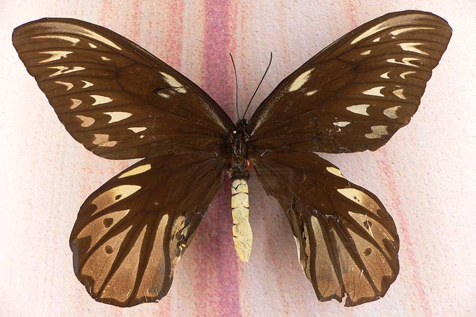A espécie tem alto valor no mercado ilegal. (Fonte: Wikimedia Commons)