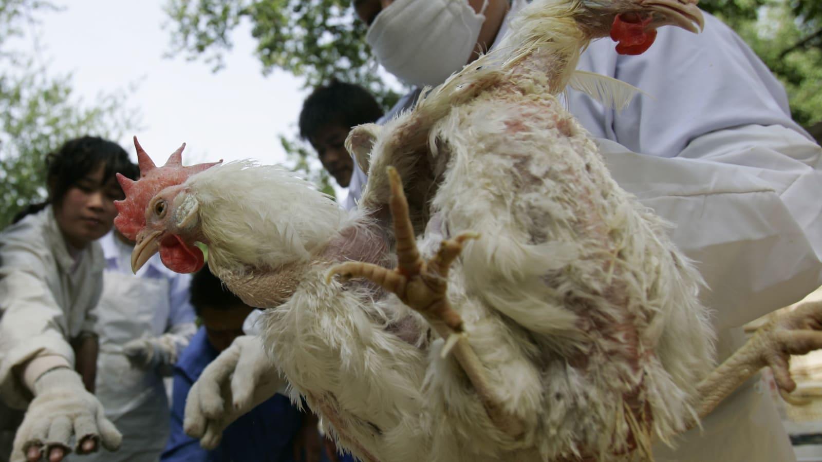 China encontra coronavírus em frango importado do Brasil