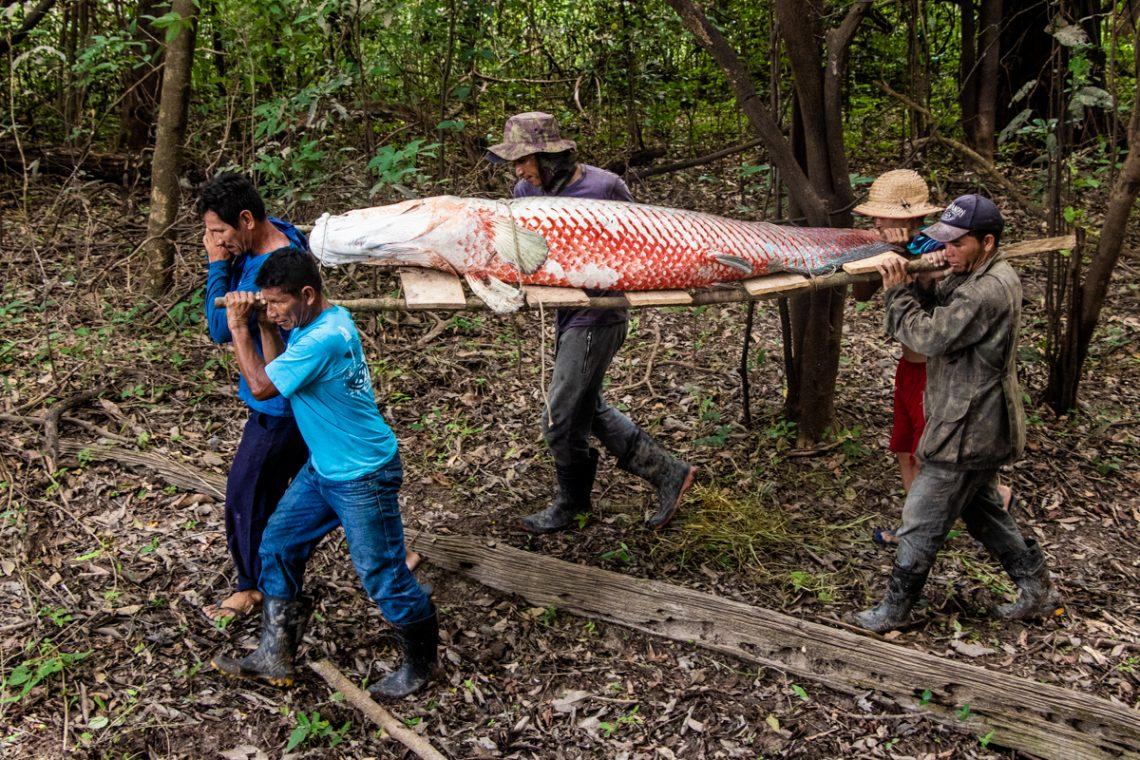Manejo do pirarucu em águas protegidas pelo Ibama (Fonte: Bernardo Oliveira/Instituto Mamirauá - Reprodução)