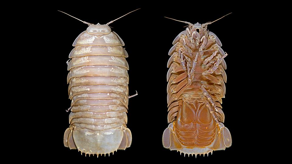 Vista da fêmea da espécie. (Fonte: SJADES 2018)
