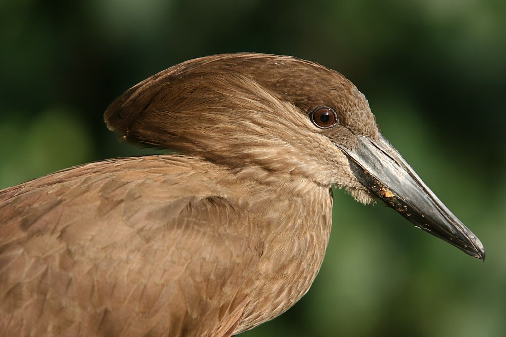 Cabeça-de-martelo, o parente mais próximo do bico-de-tamanco. (Fonte: Sebastian Ritter/Wikipedia/Reprodução)
