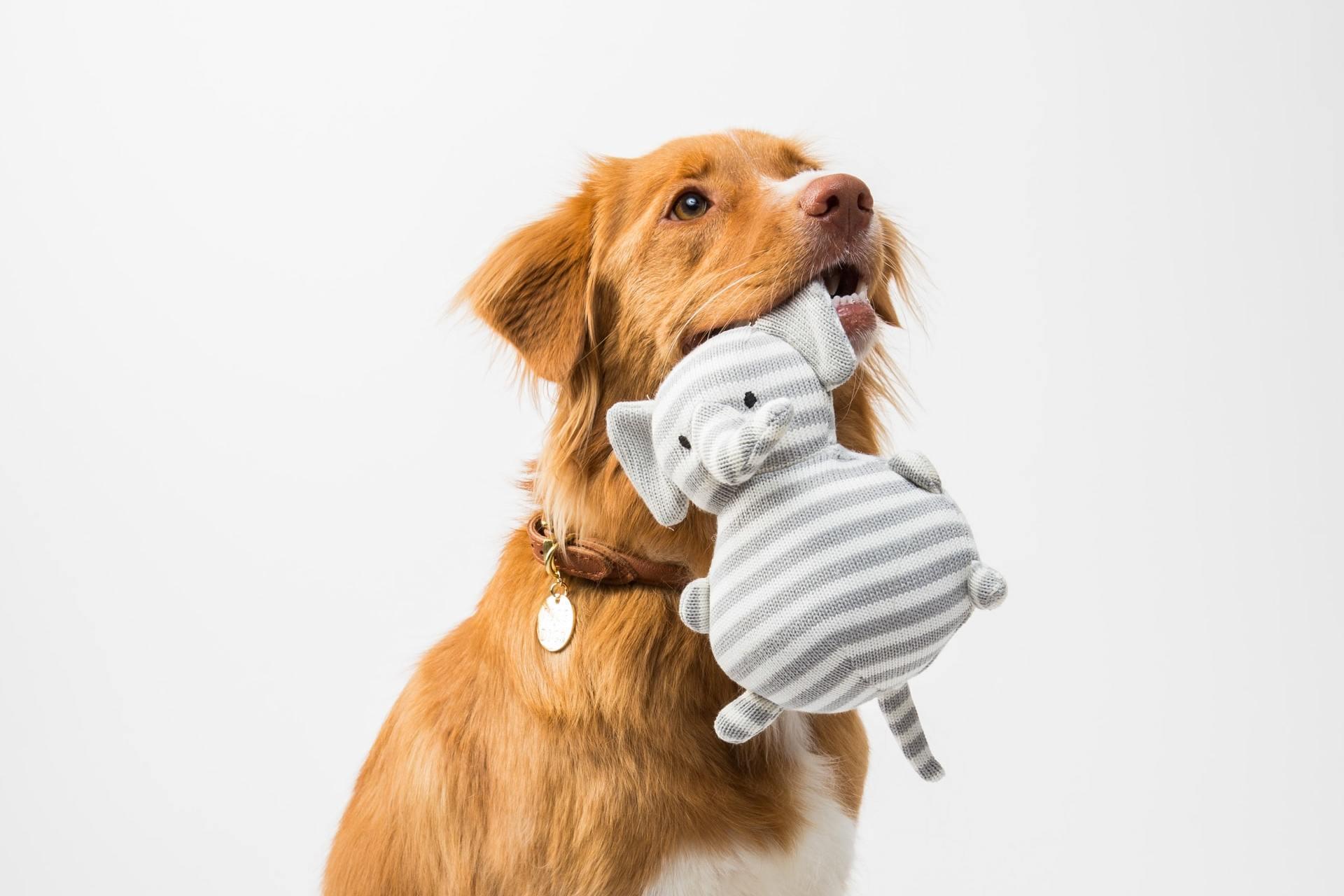 O cãozinho da foto está com um brinquedo cinza e branco — mas se fosse amarelo ou azul, ele também ia distinguir (Fonte: Unsplash)