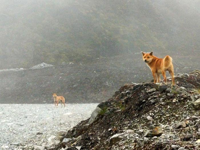 Tipo raro de cachorro da Nova Guiné era considerado extinto na natureza (Fonte: Bored Panda/Reprodução)