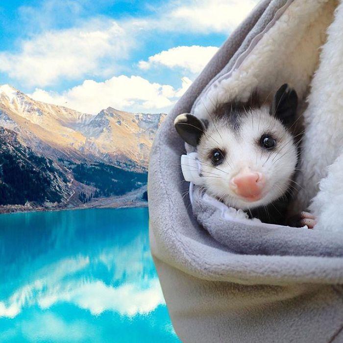 (Fonte: Sesame the Opossum/Instagram/Reprodução)