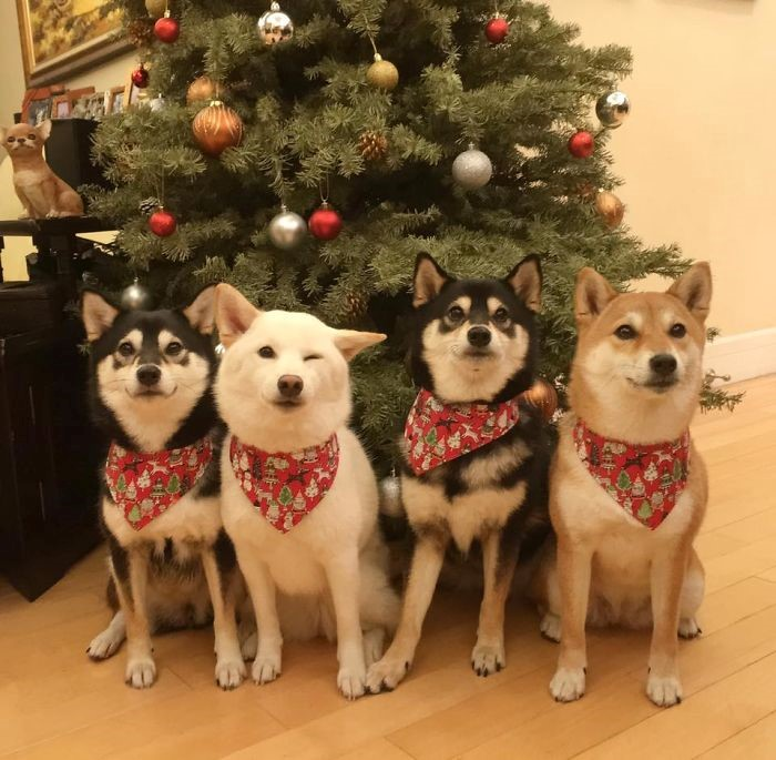 Fonte: Shiba Inu - Kikko, Sasha, Momo & Hina (Reprodução / Facebook)