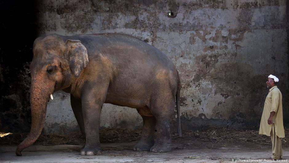 Kaavan viveu por 35 anos em um zoológico em Islamabad, em péssimas condições (Fonte: Deutsche Welle/Reprodução)