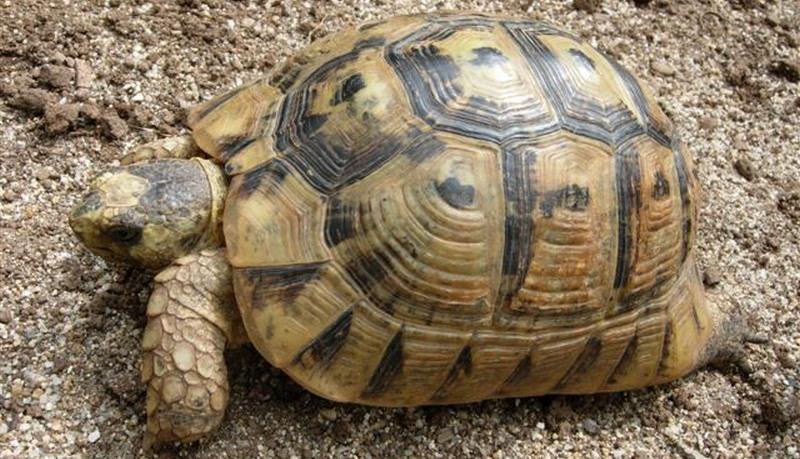 A tartaruga-grega é uma das espécies do gênero Testudo