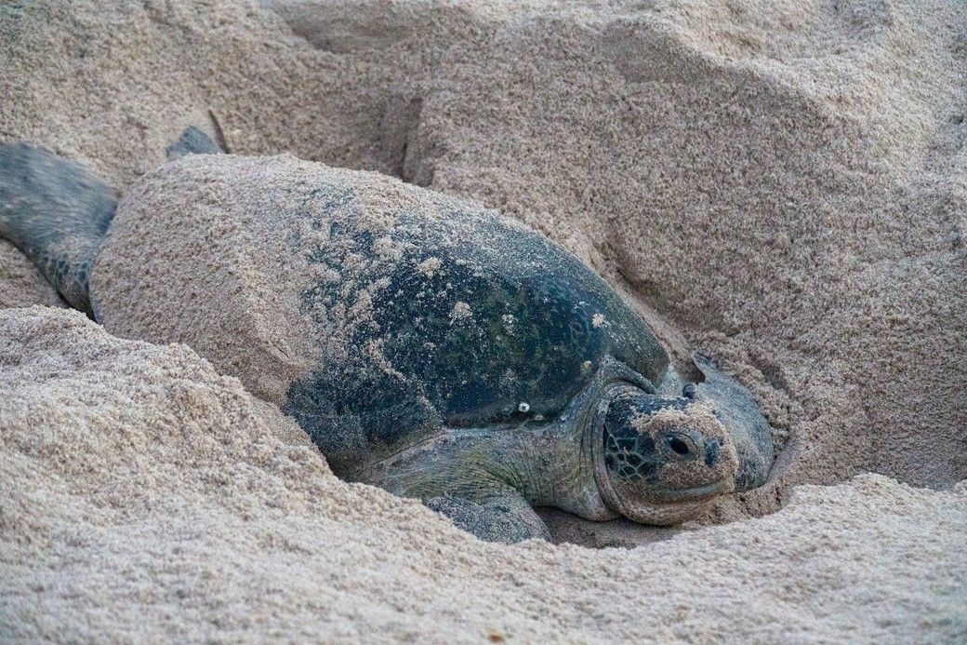Tartarugas sempre voltam à praia onde deixaram seus ovos, graças ao magnetismo (Fonte: Unsplash)