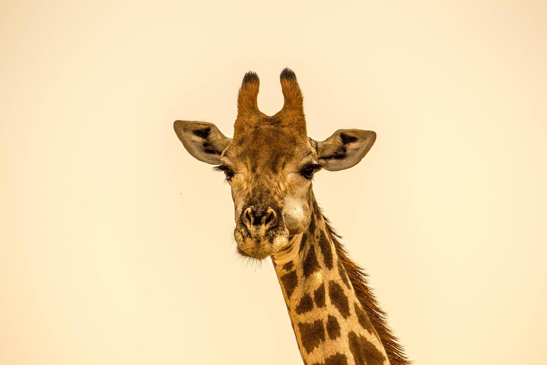 A altura das girafas, ainda mais com esses ossinhos no topo da cabeça, pode atrair os raios em campos abertos (Fonte: Unsplash)