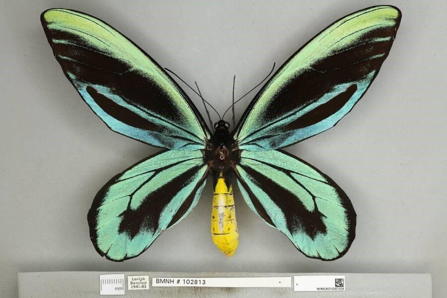 A borboleta Ornithoptera alexandrae é uma das espécies que corre risco de extinção (Fonte: Wikimedia Commons)