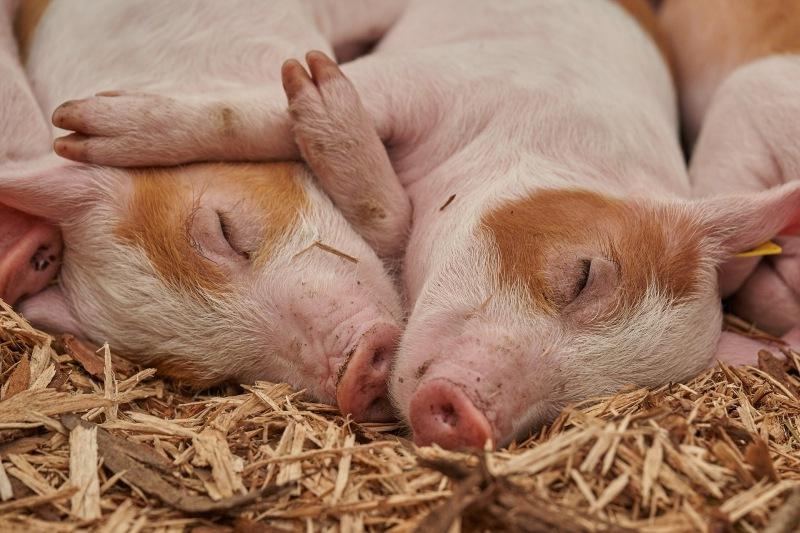Porcos também precisam descansar para recuperar.