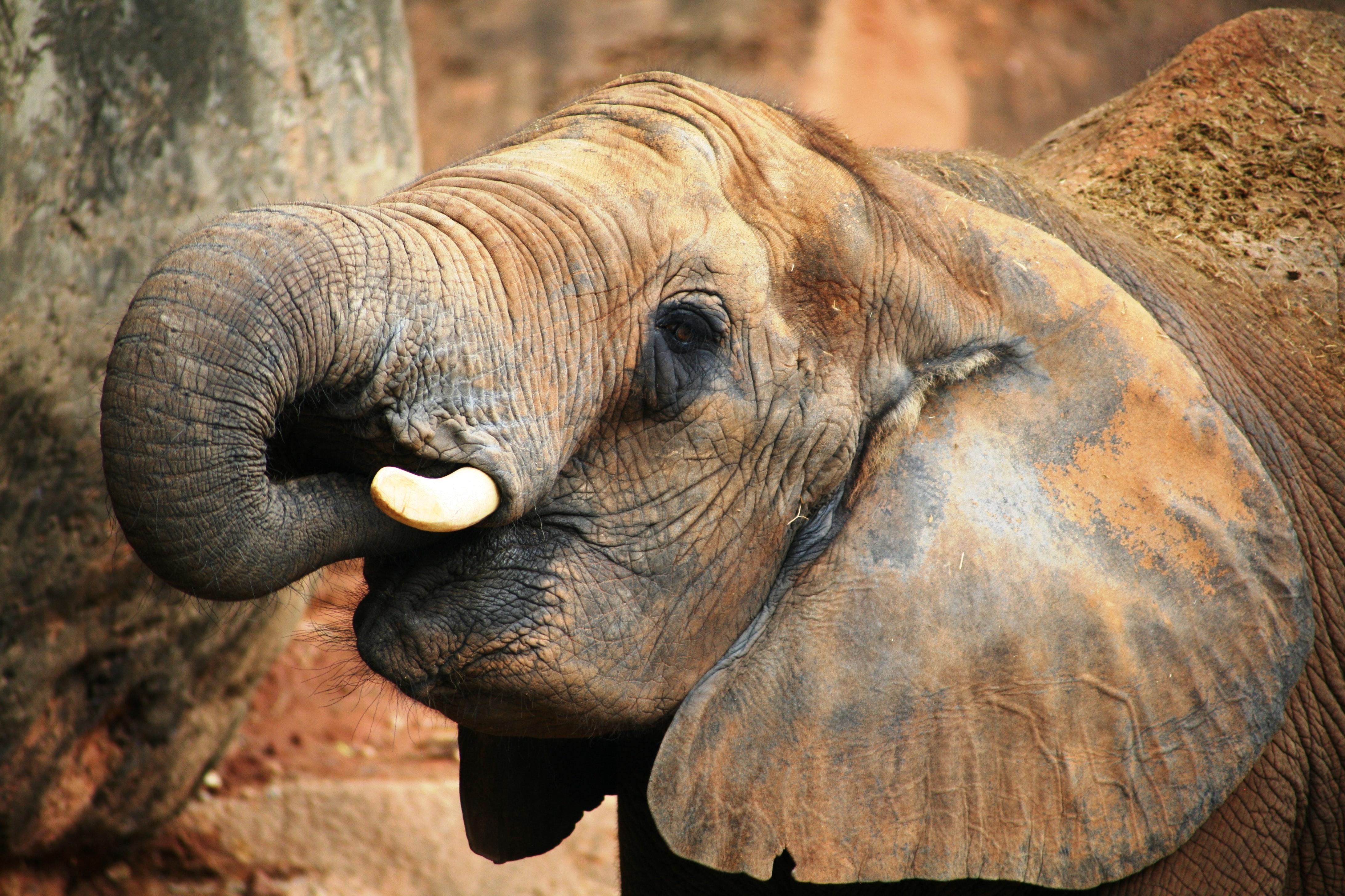 Bebês elefantes gostam de sugar a própria tromba.