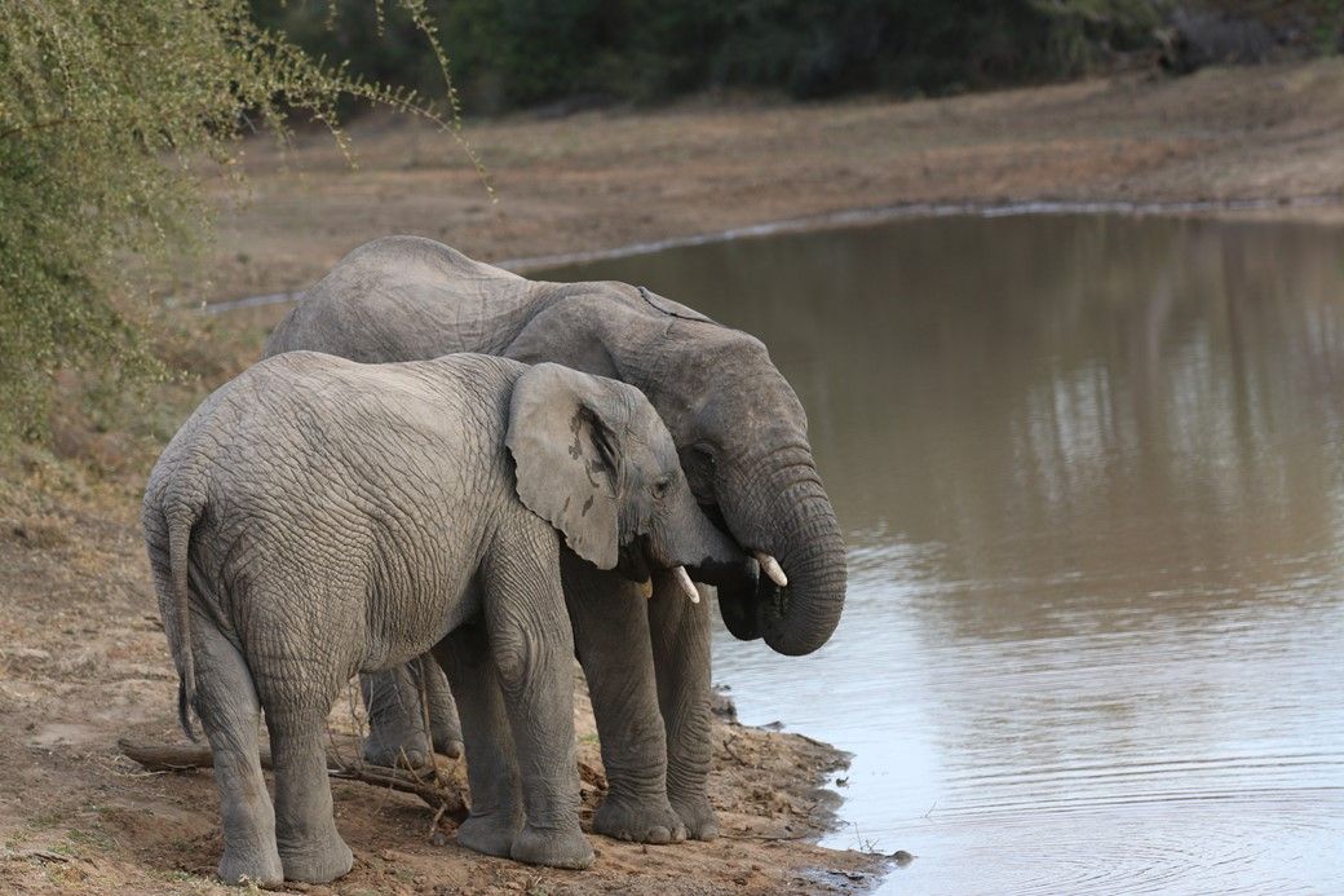 """Os elefantes também são conhecidos por manter fortes """"laços familiares""""."""