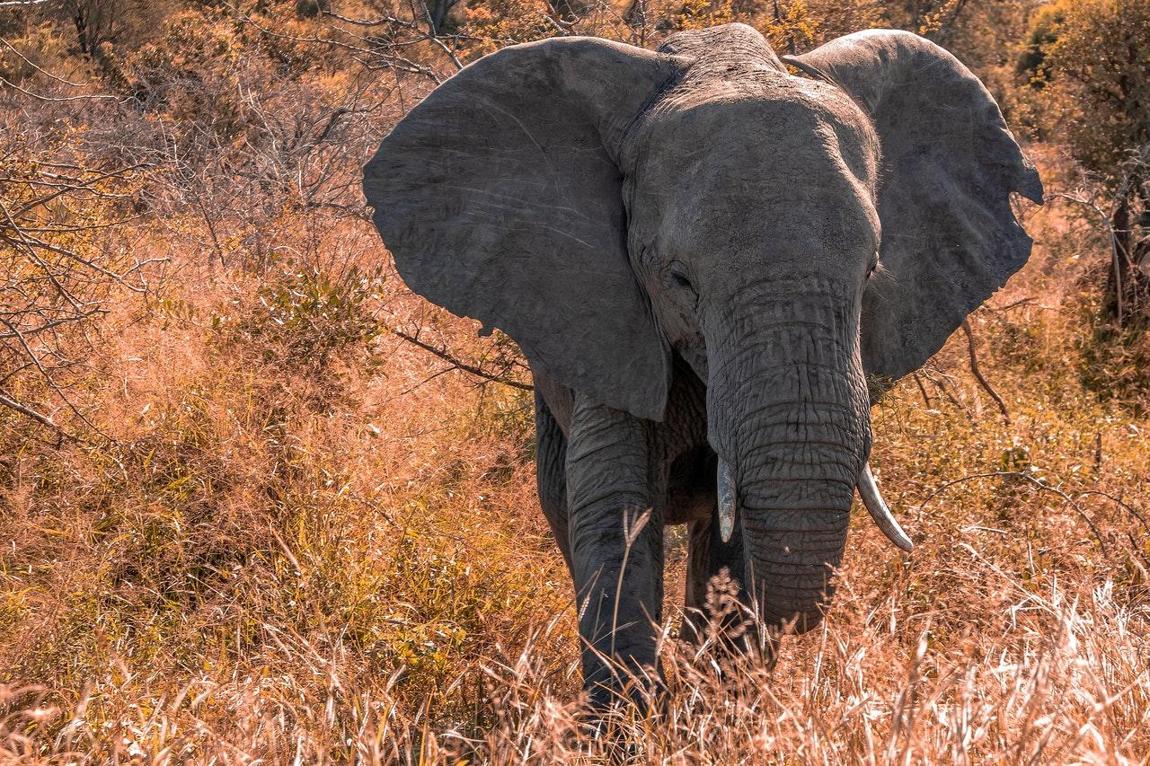 O elefante africano é considerado o maior representante de sua espécie.