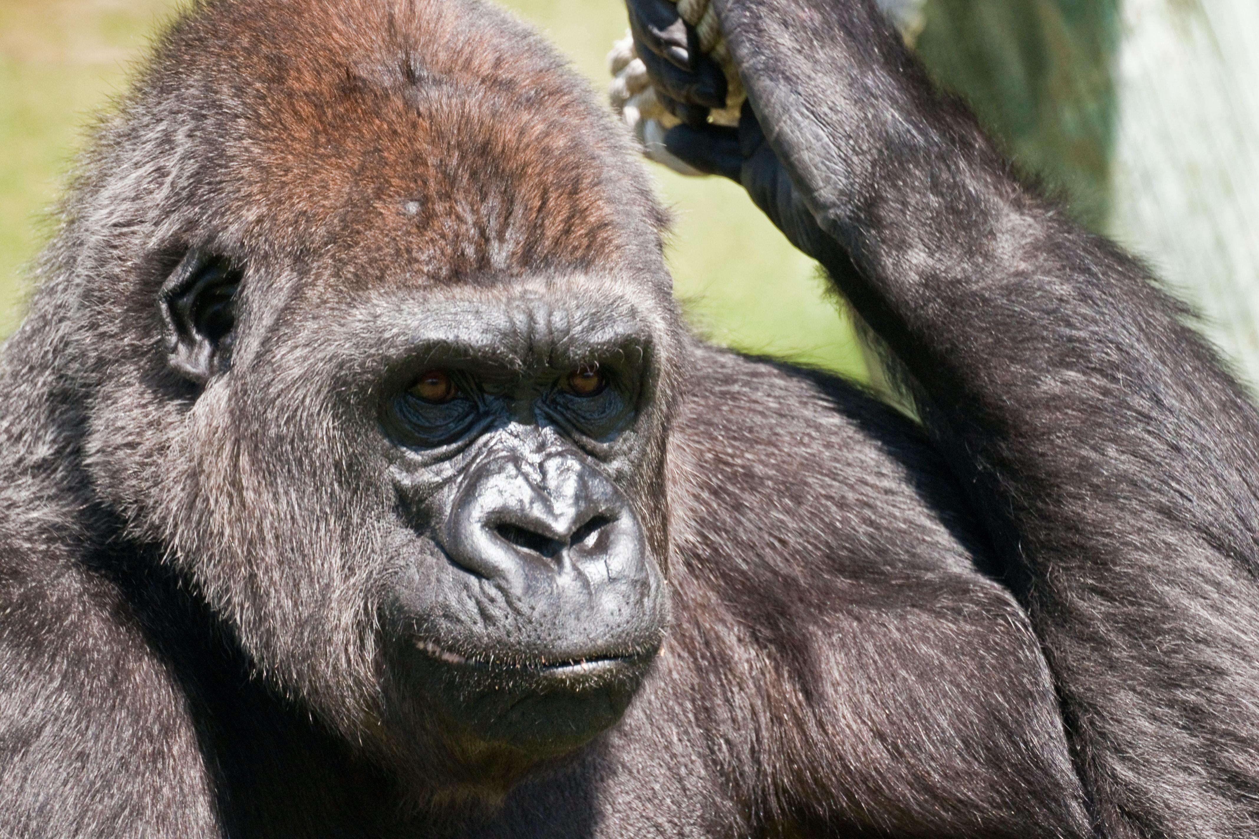 Em relação ao aspecto físico, os lêmures não superam os gorilas..