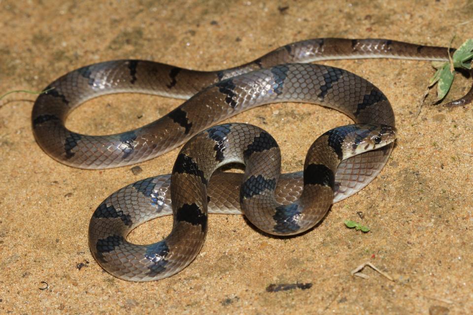 Cobra Kukri (Oligodon arnensis)