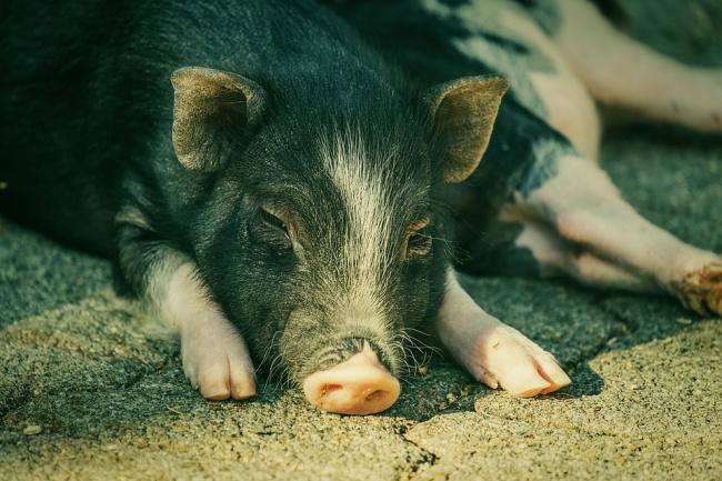 Diarreia e vômito são alguns dos sintomas da doença na população suína.