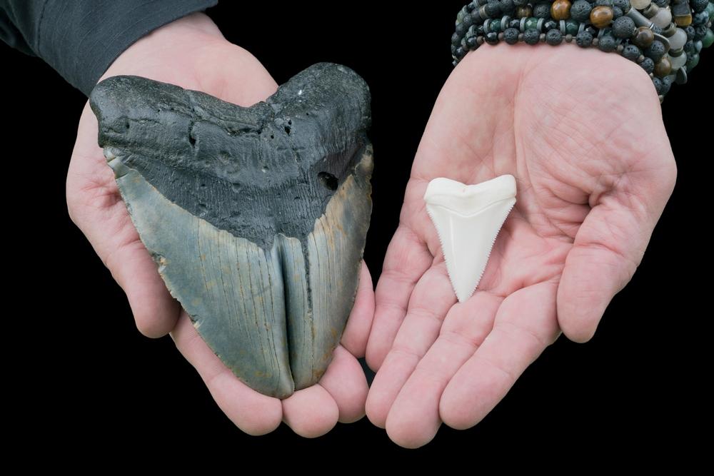 Um dente de O. megalodon (à esquerda), comparado com um de tubarão branco (à direita).