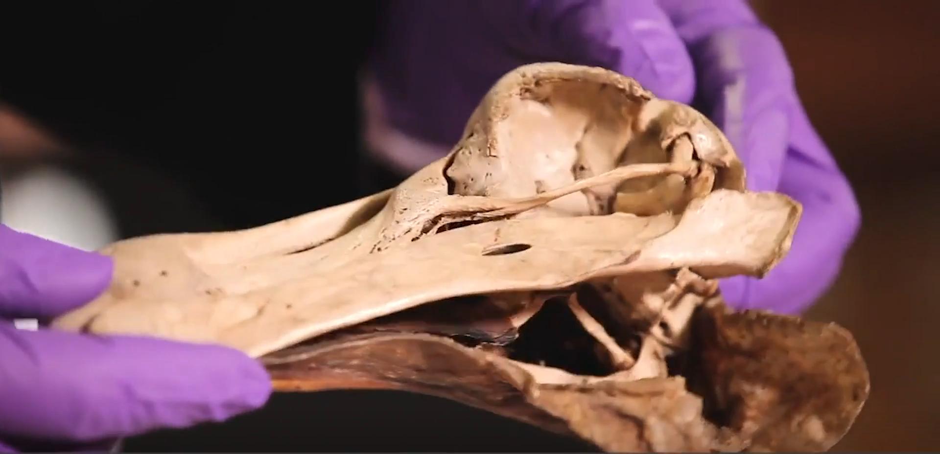 Paleontólogo analisa fóssil de um Dodô, extinto pelo ser humano há milhares de anos atras