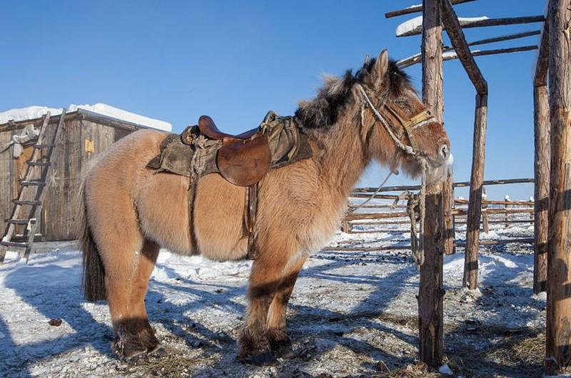 Cavalo iacutiano: baixinho e atarracado. (Foto: