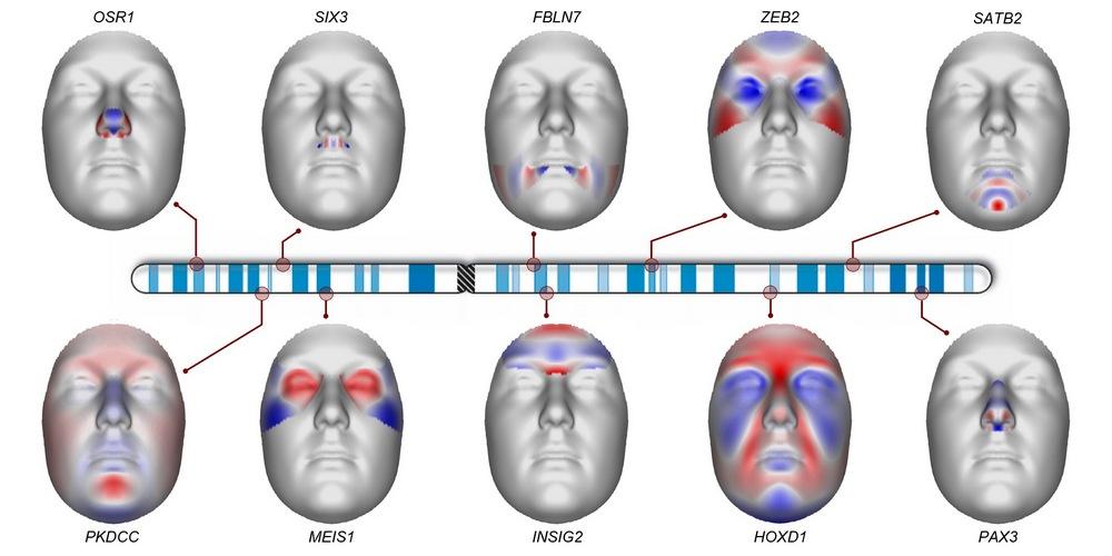 How chromosome 2 influences the shape of our face.