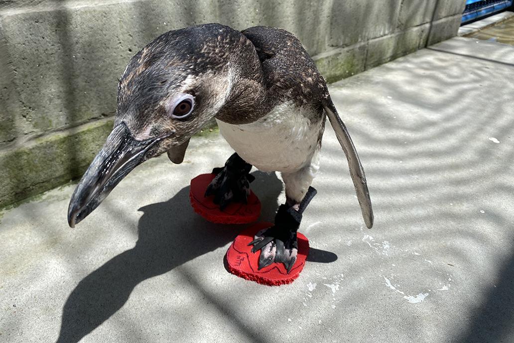 Seis pinguins estão usando chinelinhos para proteger os pés durante tratamento (Fonte: LEC/UFPR/Divulgação)