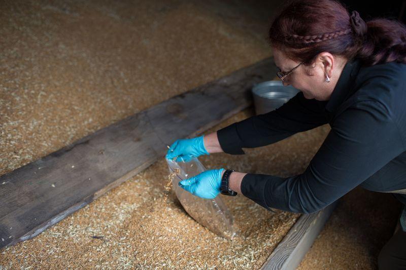 Chemist Iryna Labunska collects grain samples.