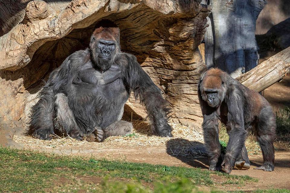 Gorilas são os primeiros não-humanos a se vacinar contra a covid