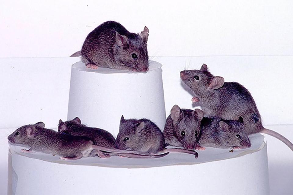 Cientistas 'camuflam' nanorrobôs para enviá-los a cérebros de ratos