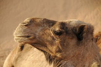 Camel is appointed as an intermediate host of the MERS-CoV virus.