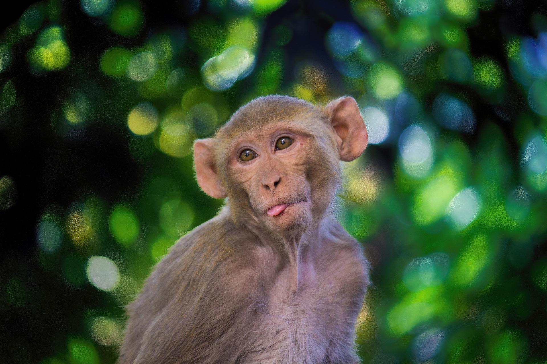Assim como ocorre com humanos, alguns macacos rhesus gostam de álcool.