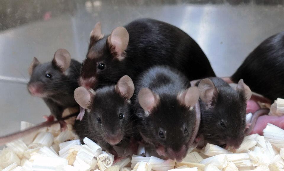 O esperma de ratos mantido no espaço por até seis anos produziu centenas de filhotes saudáveis durante o estudo.