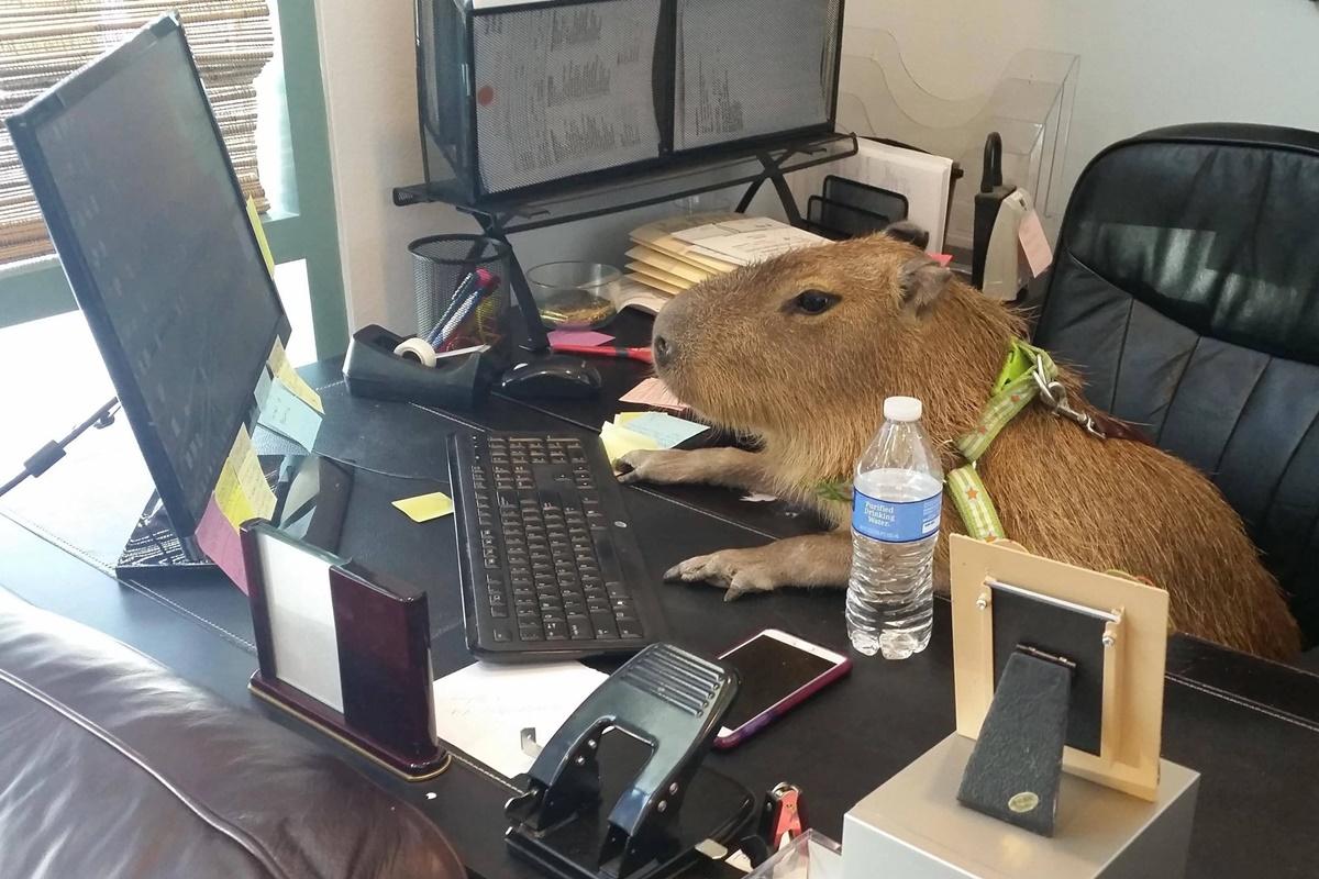 Capivaras usando PCs: internet discute fotos curiosas dos animais