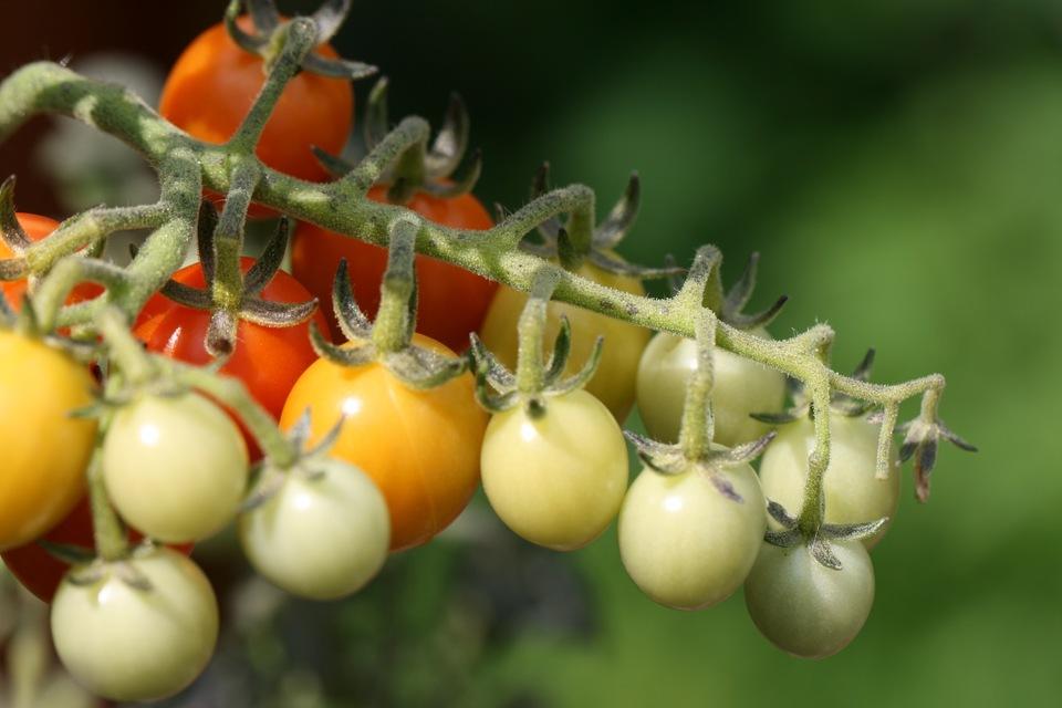 Tomate atacado por inseto avisa o restante da planta com choque