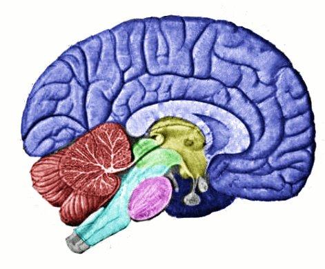 O cérebro é um órgão computacional.
