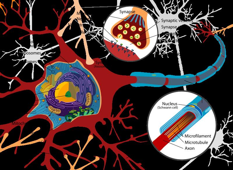 Um neurônio tem vários dendritos, um corpo celular e um axônio. Clique na imagem para ver detalhes.