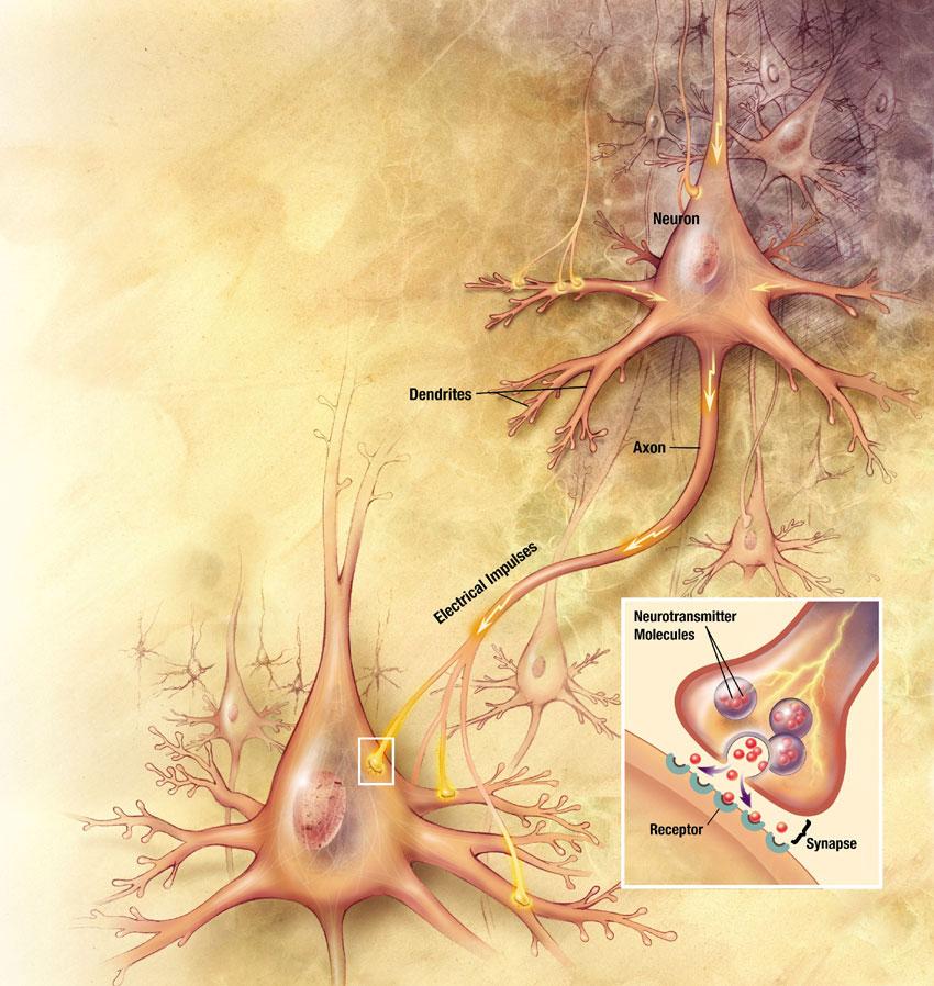 Os neurônios trocam informações nas sinapses.
