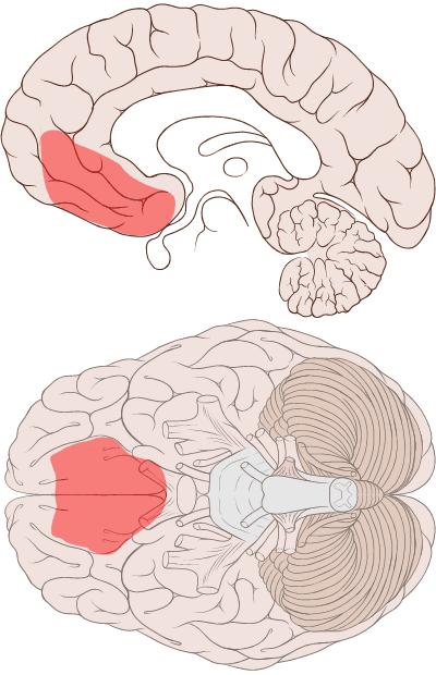 O córtex é a região responsável pelo nosso processamento de dados