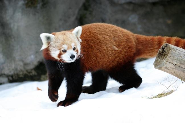 Fire Fox, em zoológico.