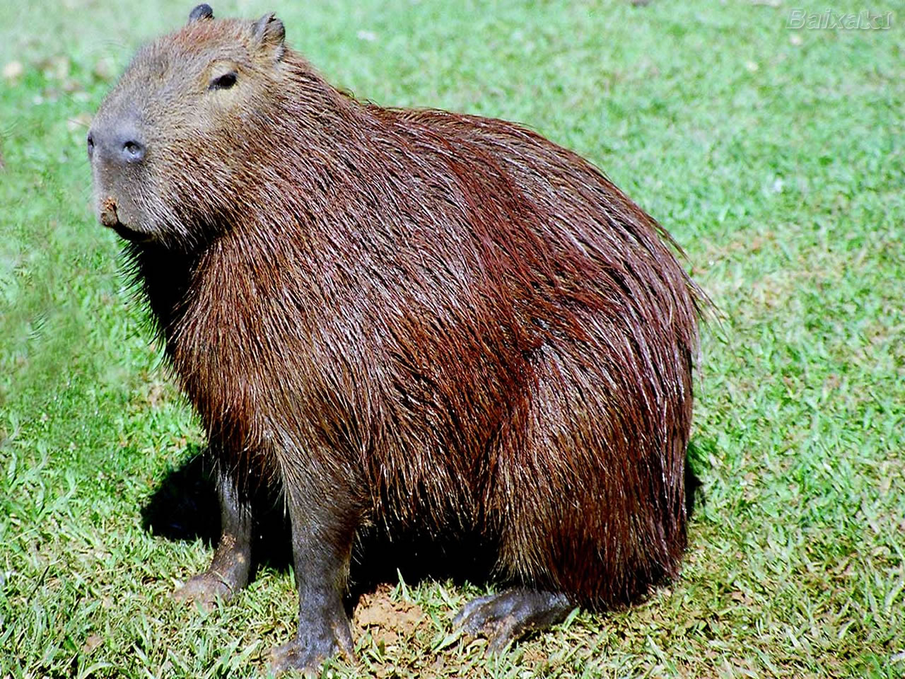 Capybaras As Pets
